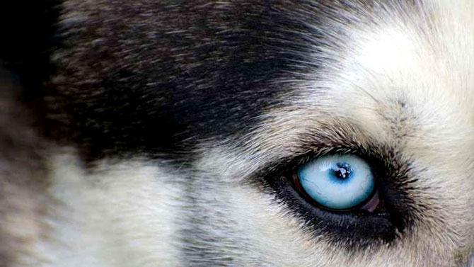 اكتشاف سر العيون الزرق «الخبيثة» للهاسكي السيبيري