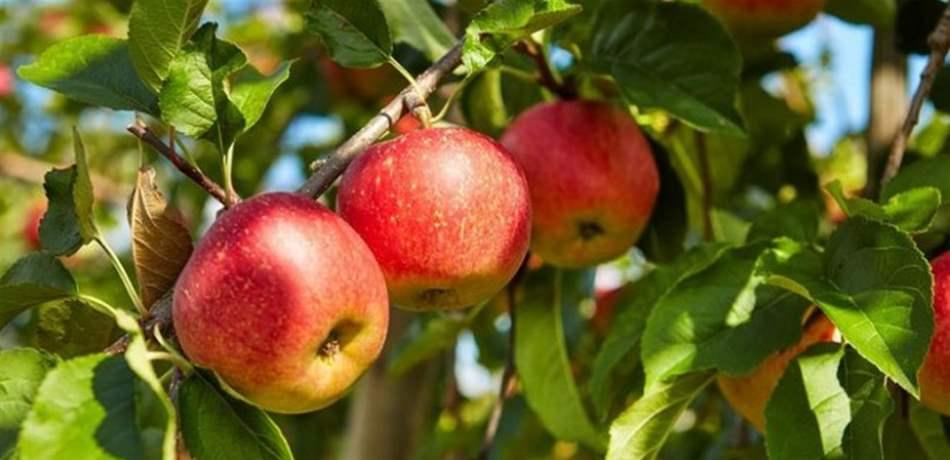الكشف عن فوائد مذهلة لتناول تفاحة واحدة يوميا!