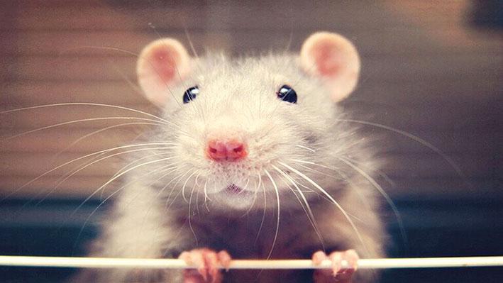فئران تتعلم قيادة سيارة كهربائية مصغرة في تجربة علمية مذهلة