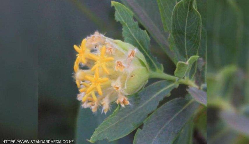 نبتة تحارب السمنة «لا تخطر على البال»