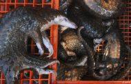 بعد الخفاش.. كلب الراكون المتهم الثاني في أزمة «كورونا»