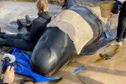 نفوق مئات الحيتان الطيارة في أكبر حدث من نوعه بتاريخ أستراليا