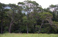 أخطر شجرة في العالم