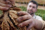 مزارعو التبغ في عيترون ورميش: لرفع أسعار تسليم المحصول تماشيا مع ارتفاع الغلاء المعيشي