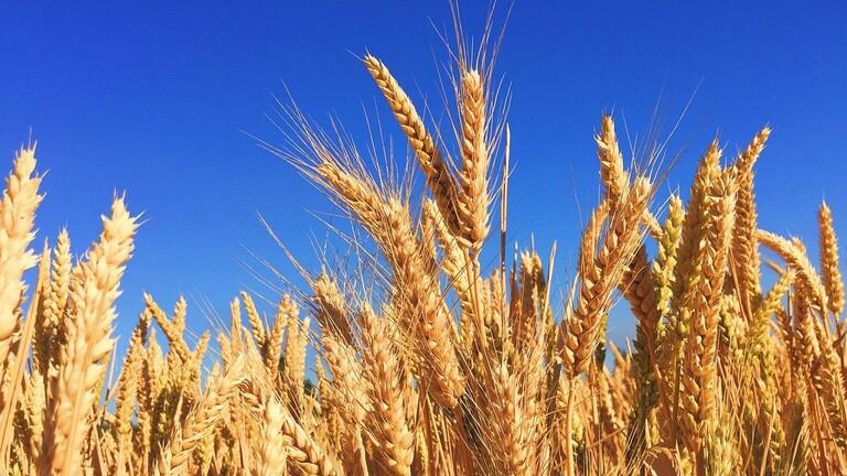 مزارعو قمح البقاع يطالبون بضم مؤسساتهم إلى قرار الإعفاء من الإقفال