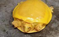 العثور على سلحفاة صفراء نادرة في الهند للمرة الثانية خلال عام